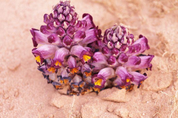 bloemen in de Wadi Rum woestijn
