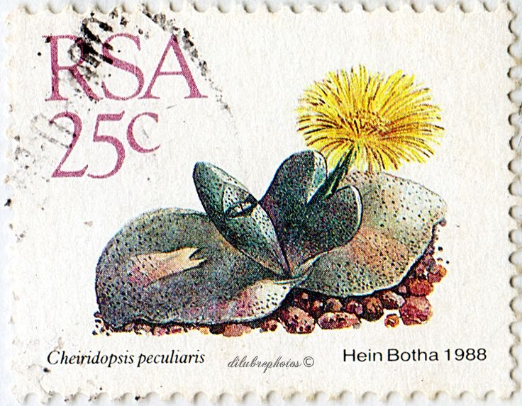 Republic of South Africa.  SUCCULENTS.  CHEIRIDEPSIS PECULIARIS.  Scott 744 A259, Issued 1988 Sept 1, Litho., Perf. 14 x 14 1/2, 25. /ldb.