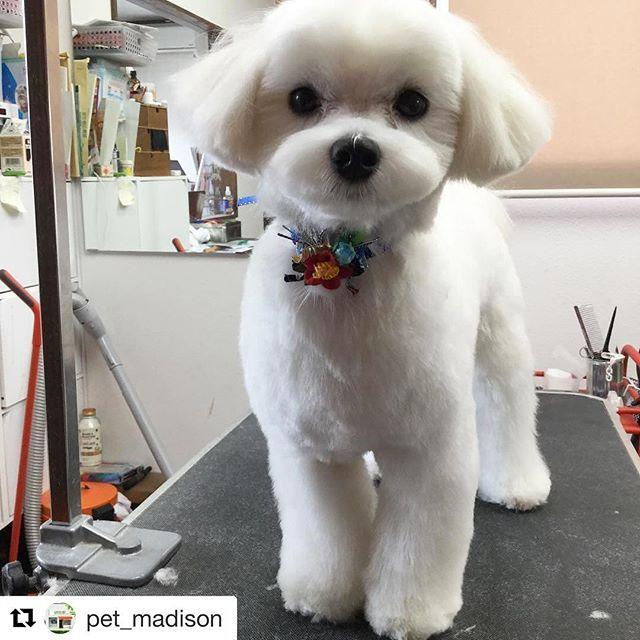 実家に帰った時にお世話になる トリミングサロン ペットステーションmadison いつもとっても可愛くしてくれて感謝です 細部までキレイに可愛くカットしてくれる 自宅近くにあればいいのにな Super Cute Puppies Maltese Dogs Haircuts Dog Haircuts