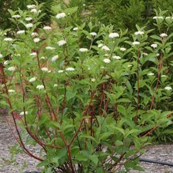 Red twig dogwood, fun sun/part shade, 6-9'Hx8-12'W, May-June white blooms, medium to wet moisture,