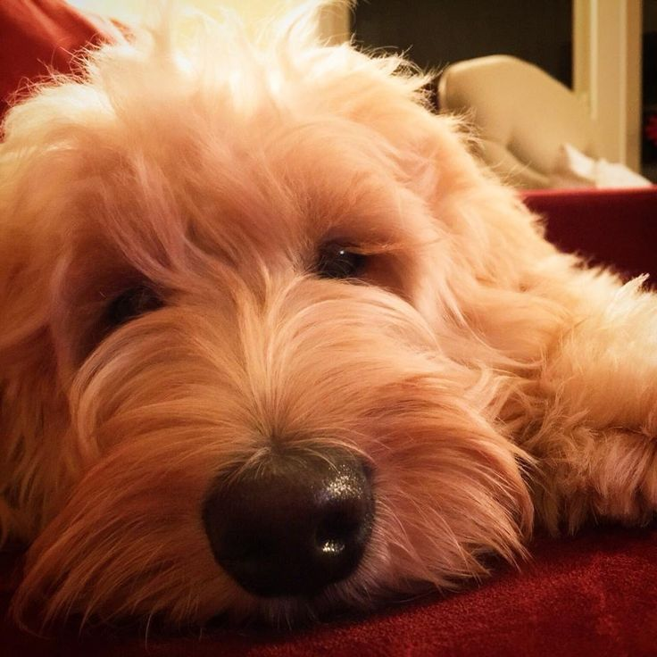 NorthStar Labradoodles – Available Labradoodle Puppies – Pricing & Payment