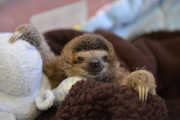 A sleepy baby sloth. | The 40 Most Adorable Baby Animal Photographs Of 2013