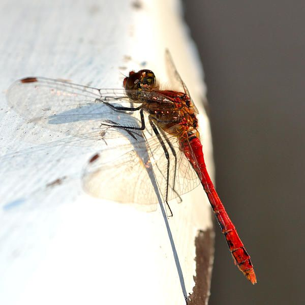 Red dragonfly on table