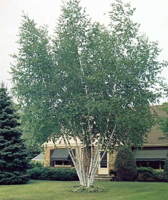 Landscaping With Paper Birch Trees : Best images about trees on