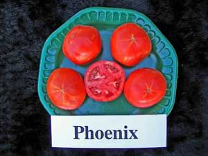Phoenix Tomato: Yes, a hybrid, but these did brilliantly in our short spring growing season and were pretty flavorful.
