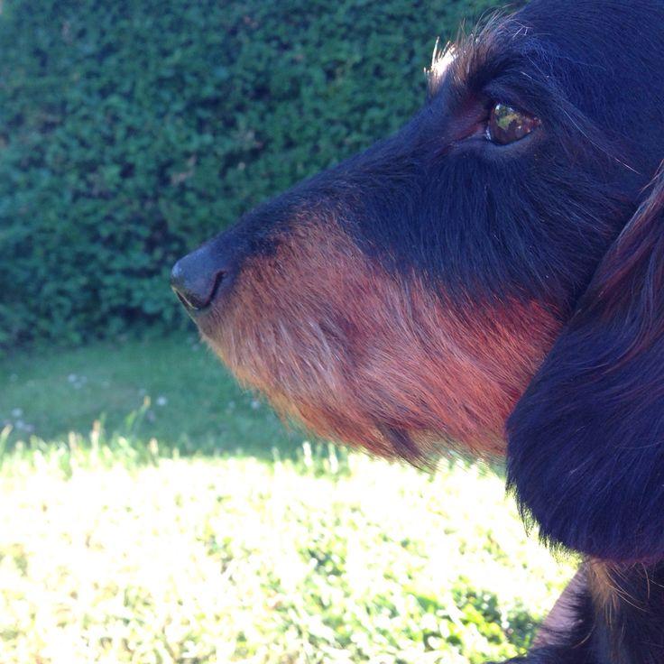 Flot fyr holder udkig/handsome guy on the lookout  #gravhund #dachsie