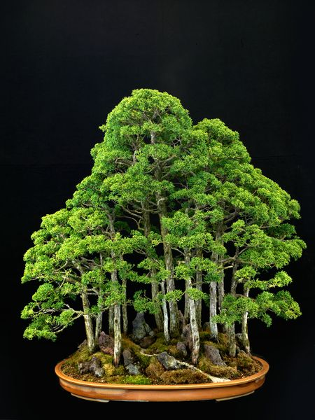 Sargents junipers like this 40-year-old specimen in an American container  are trained into many different bonsai forms. Japanese bonsai artist Toshio Kawamoto established saikei, a type of tray landscapes, in the 1960s because he wanted to popularize and expand bonsai art. Photograph by Jonathan Singer
