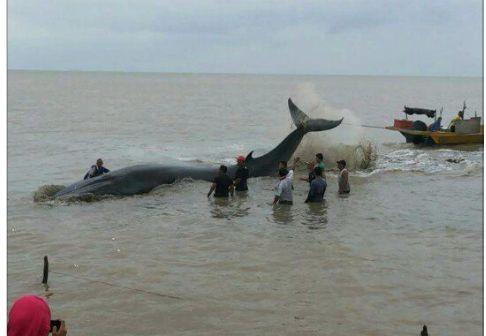 Penemuan Ikan paus hidup beriklim sejuk terdampar di Pantai Rambah