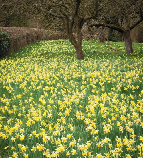 Narcissus Pseudonarcissus, native English daffodil, 30cm, March.  Very good for naturalising in grass