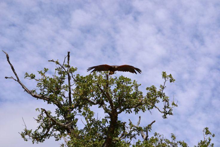 falco appollaiato decolla