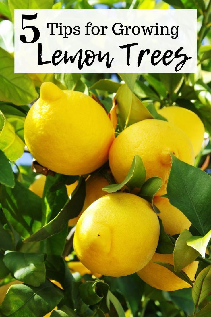 It S So Much Fun To Pick Your Own Lemons When You Want To Add A Slice To A Glas Jardin De Productos Comestibles Abono Natural Para Plantas Jardineria Y Plantas