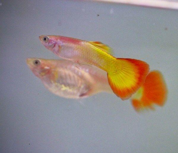 Yellow Sunburst Guppy Pair Guppy Fish Guppy Aquarium Fish For Sale