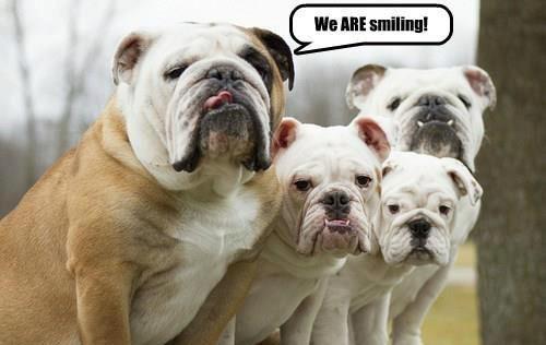 Smiling Bulldogs Meme Slapcaption Com Bulldog Puppies