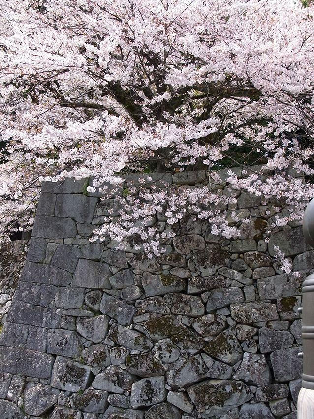 彦根城の石垣と桜