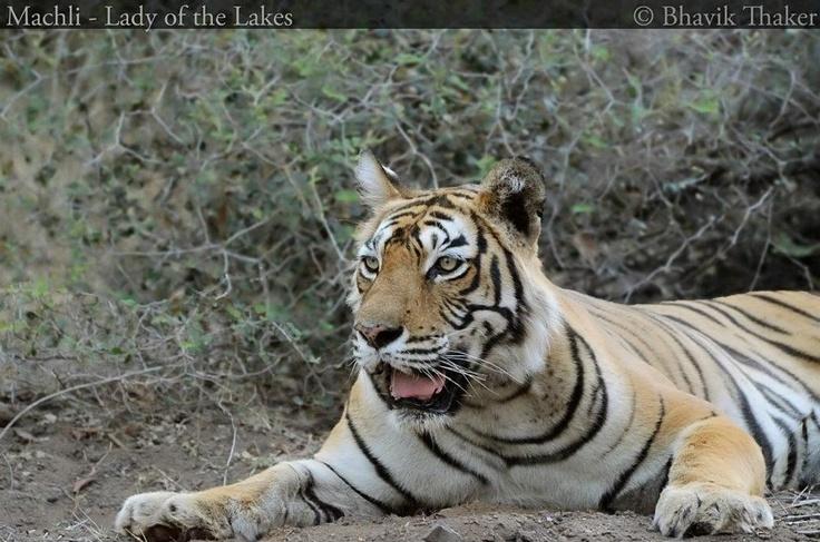 Machali- The Lady of Ranthambore Lakes