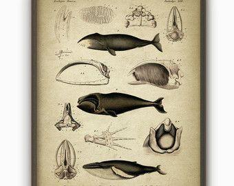 La ballena de pared arte cartel - impresión del arte de la ballena - Ballena científica Vintage libro placa - arte de la pared de Biología Marina - biología estudiante regalo (AB27)