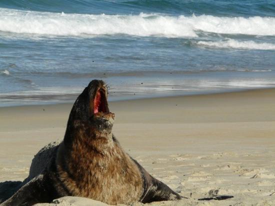Dunedin is a good spot for fur seals to sunbathe
