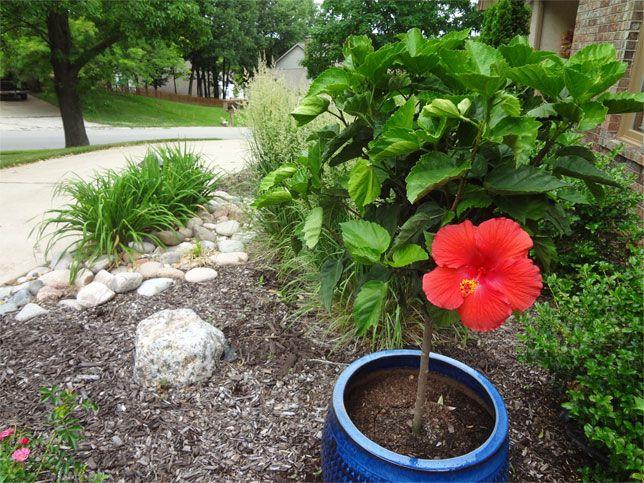 Tips On Overwintering Hibiscus Hibiscus Garden Winter Plants
