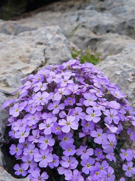 Aubrieta deltoidea (Rock Cress); great plant for a rockery