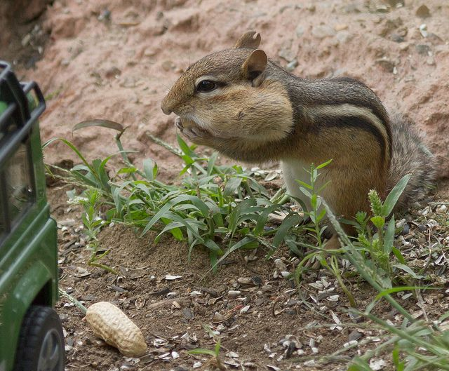 Squirrel Chipmunks Playing In The Yard Squirrels Chipmunks Pinterest Chipmunks