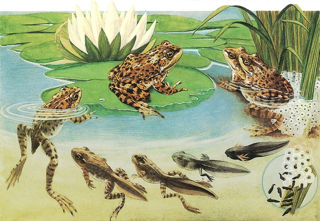 Frog Life Cycle by Orin Zebest, via Flickr