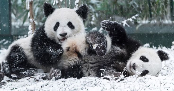 The adorable cubs, along with their mother, can't stop playing in the freshly fallen snow at the world's oldest zoo