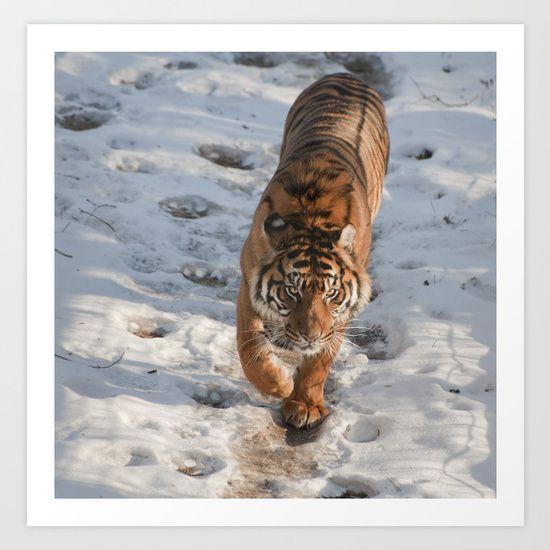 Tiger, stalking tiger, Big Cat, Siberian Tiger...