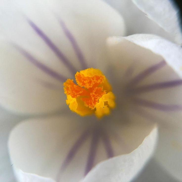 Crocus up close...spring is in the air... #crocus #macro #macrophotography #upclose #details #flower #spring #springflower #pnw #upperleftusa #portland