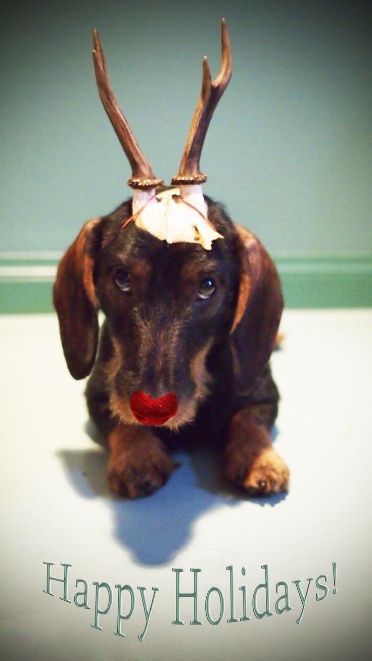 Our Christmas Card this year. Happy Holidays from Rudolf the Dachshund!