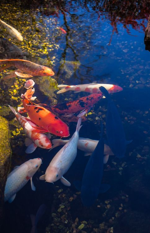 17 best images about goldfish koi on pinterest for Live dragon koi fish