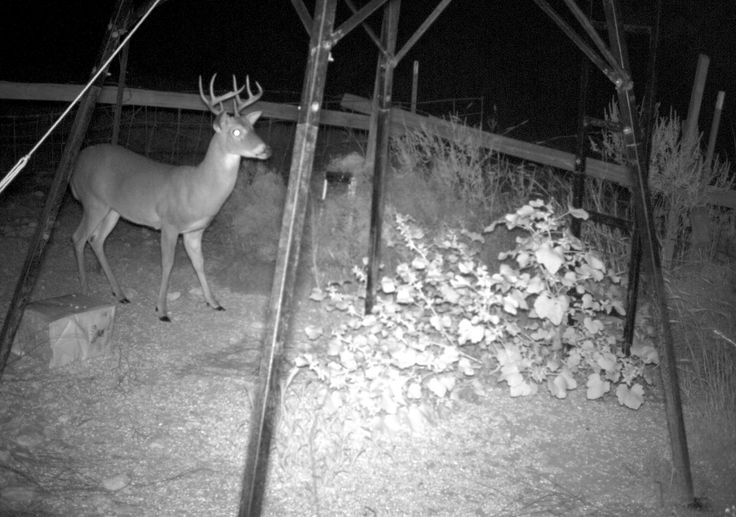 Who's that 'intruder' that sets off your alarms in the middle of the night?... Find out that it's just a sneaky stag with our night-vision cameras!