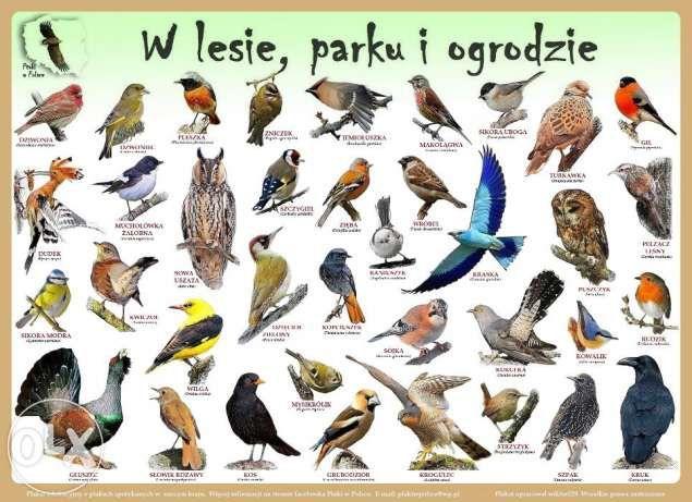 Plakaty edukacyjne Ptaki w Polsce Szczecin - image 1