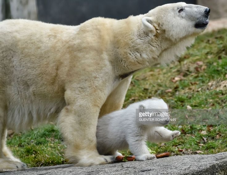 The 14-week-old polar bear cub and mother Giovanna are pictured at the zoo Hellabrunn in the southern German city of Munich, on February  24, 2017. / AFP / GUENTER SCHIFFMANN        (Photo credit should read GUENTER SCHIFFMANN/AFP/Getty Images)