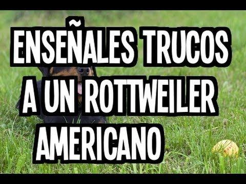 Enseñales Trucos A Un Rottweiler Americano