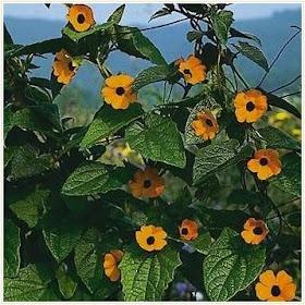 Die besten 25 schnell wachsende reben ideen auf pinterest for Evergreen pflanzen