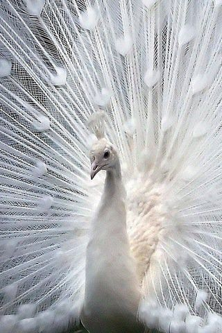 White peacock....he's stunning!  And the marks in his tail feathers look to be heart shaped!!!  You'd think the naturally coloured peacock would be the most appealing because of the beautiful coloration and displays, but this white one is absolutely stunning!!!