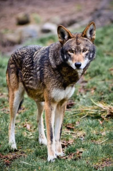 NCWRC Violates Memorandum of Understanding with USFWS in Effort to Extinguish Last Wild Population of Red Wolves - Photo by William Doran