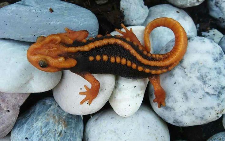 Tylototriton, Crocodile newt, Klingon lizard, knobby newt.
