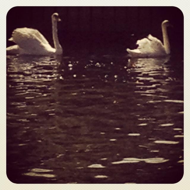 Lovley swan in the lake