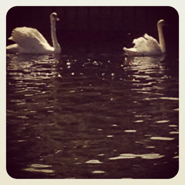 Lovley swan in the lake