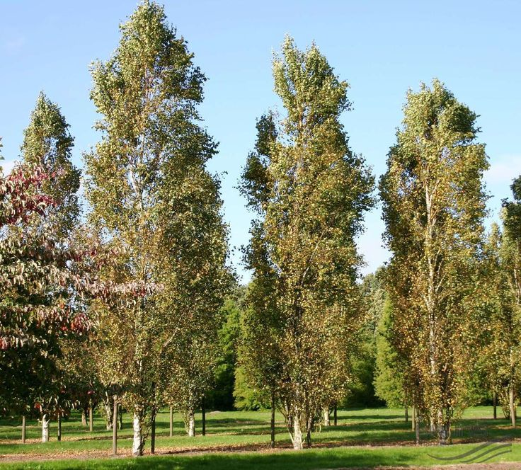 best 25 betula pendula ideas on pinterest white bark trees trees with white bark and privacy. Black Bedroom Furniture Sets. Home Design Ideas