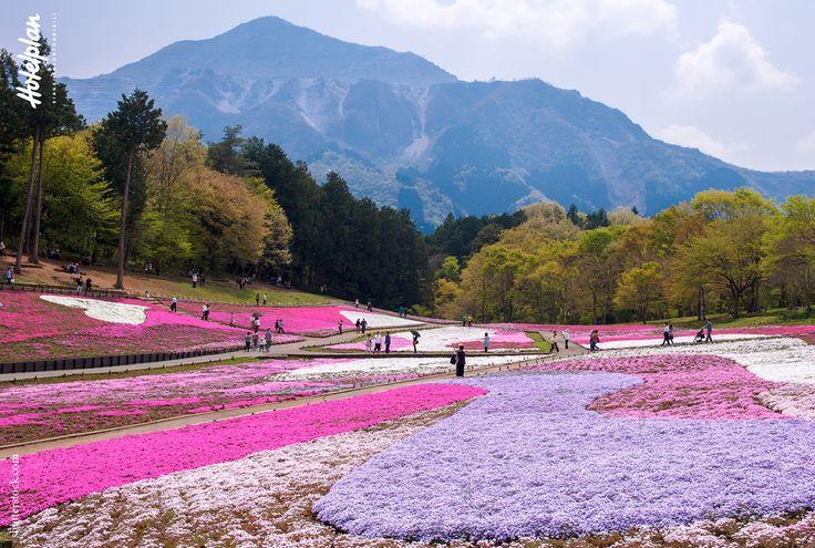 Shiba Sakura flowers