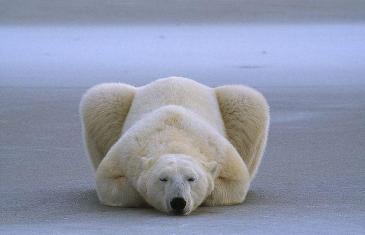 Sleeping Polar Bear