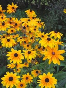 Rudbeckia Indian Summer- deer resistant, perennial