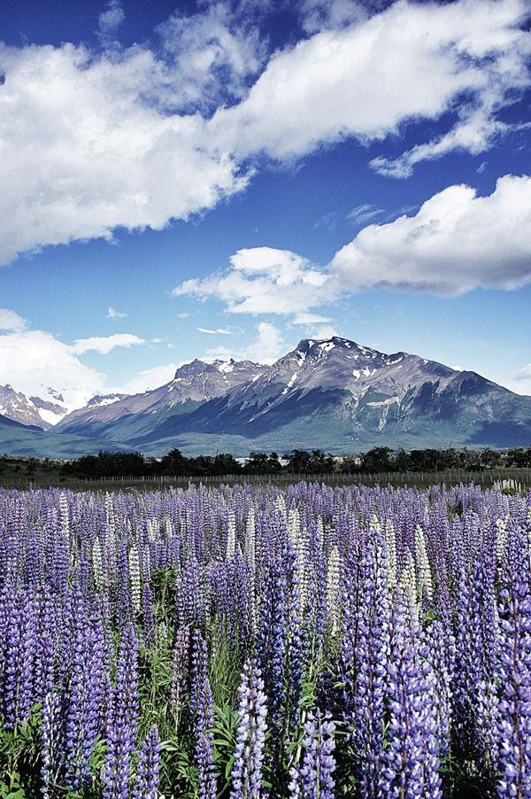 Patagonia, hermosos lupinos violáceos.