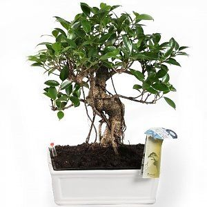 1000 ideas about bonsai ficus on pinterest bonsai bonsai trees and juniper bonsai. Black Bedroom Furniture Sets. Home Design Ideas