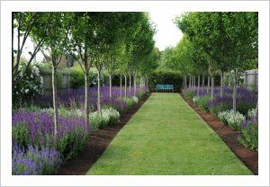 Ornamental Pears underplanted with Salvia nemorosa