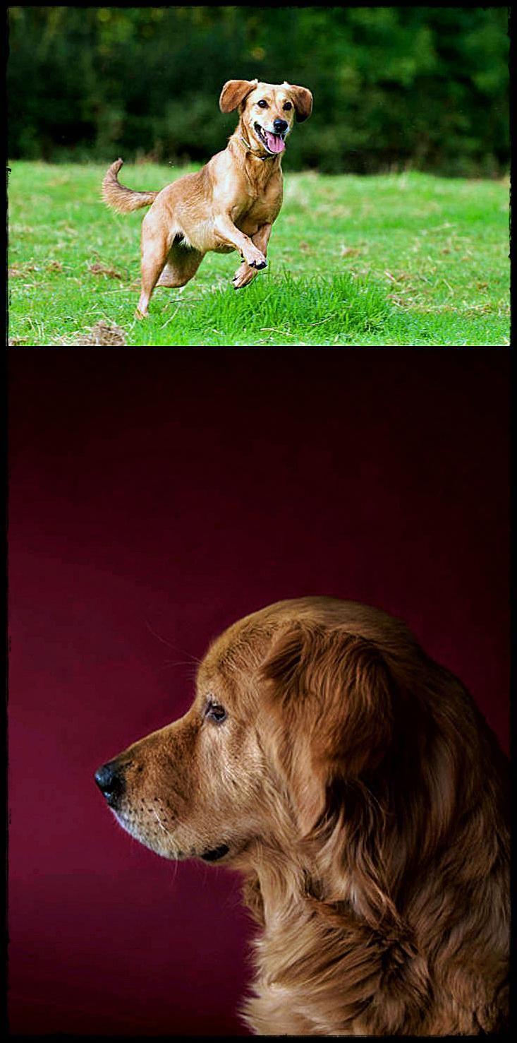 Labrador Energy Level Find Out About Labradoradoptionuk