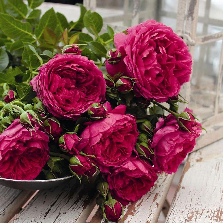 14 best adr images on pinterest roses plants and. Black Bedroom Furniture Sets. Home Design Ideas