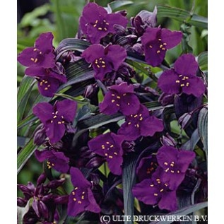 "Botanical Name 	Tradescantia andersoniana  Common Name 	Spiderwort  Primary Flower Color 	Purple  Foliage 	Frosted blue-green grass like foliage  Estimated Mature Height 	15-18"" tall  Ships As 	Bare Root  Planting Season 	Spring, Summer  Planting Depth 	Plant so that the top of the root is 1"" below the soil line.  Bloom Time 	Early to late summer  Estimated Mature Spread 	16-20"" wide  Light Requirements 	Full Sun, Mostly Sunny, Half Sun / Half Shade  Soil Moisture 	Average, Well Draining…"